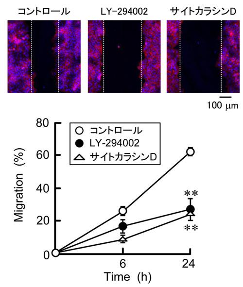 図2 細胞遊走能の解析