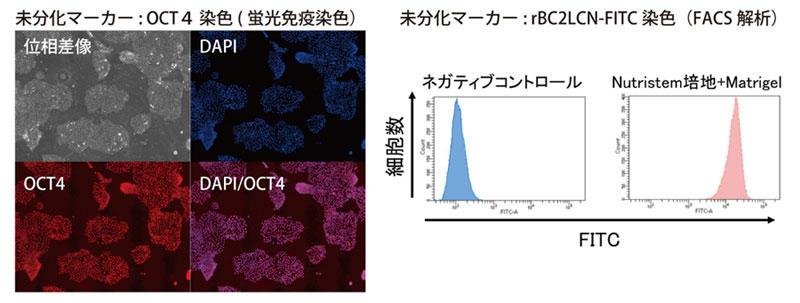 Nutristem 培養液を用いたヒトiPS 細胞の未分化性状態