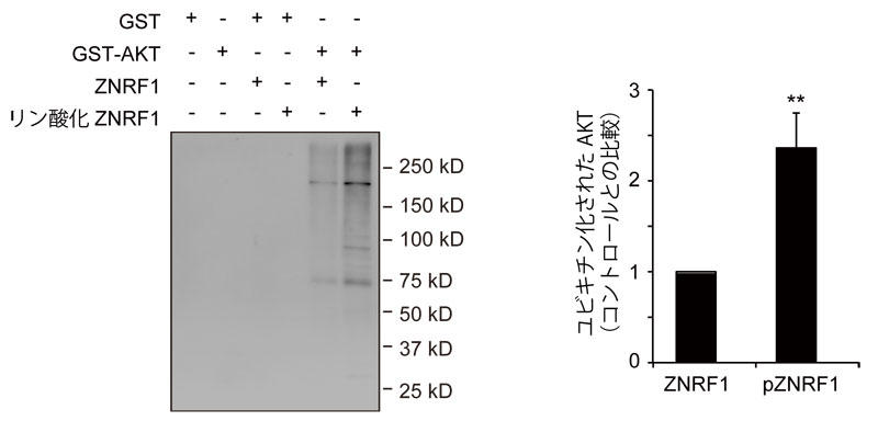 試験管内ユビキチン化反応の実験例