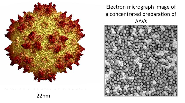 アデノ随伴ウイルス図と濃縮調製AAVの電子顕微鏡画像