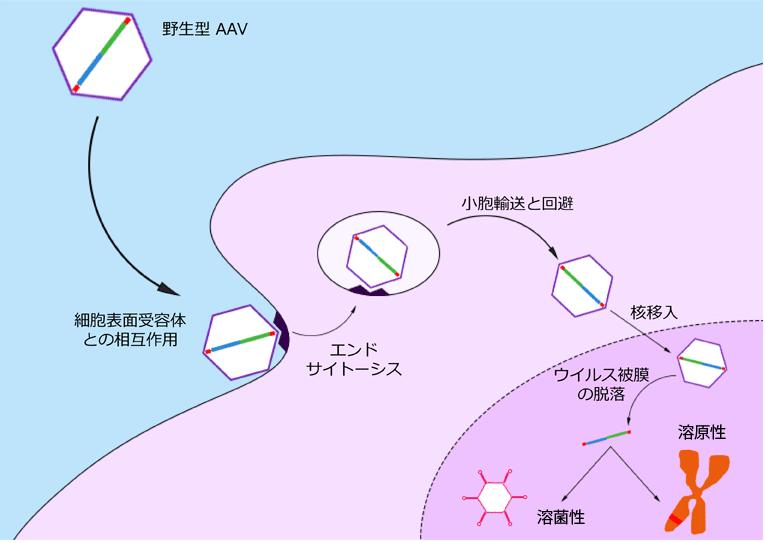 AAV感染周期