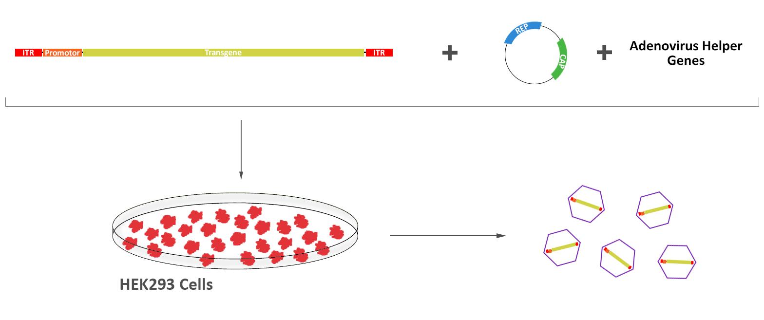 組換え型AAVは、ITR領域間のAAV遺伝子を除去し希望する導入遺伝子と置換することで構築できる