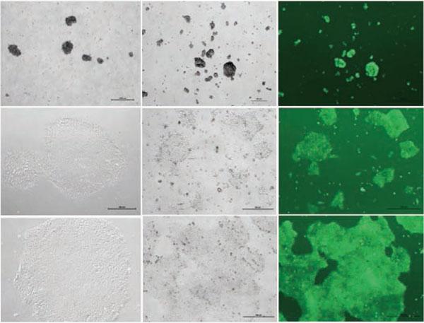 CryoStemにて凍結したヒトES細胞(H1 and hOct4-GFP reporter cells, invitrogen)を解凍し、Matrigel(TM)上でNutriStem(R)培地を用いて培養