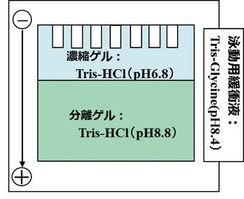 CBJ_electrophoresis_3.jpg