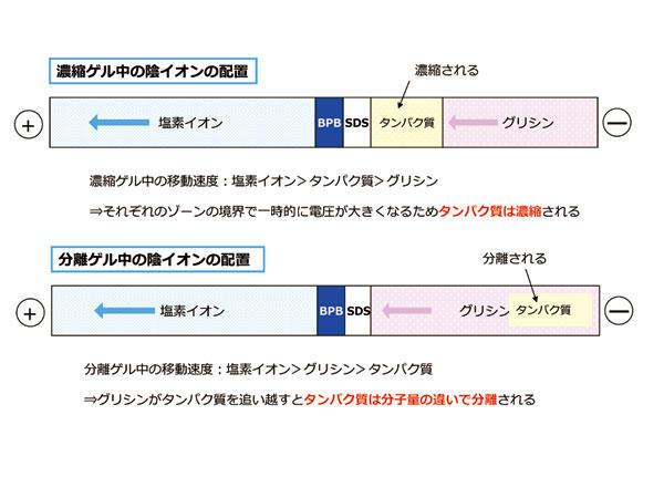 CBJ_electrophoresis_4.jpg