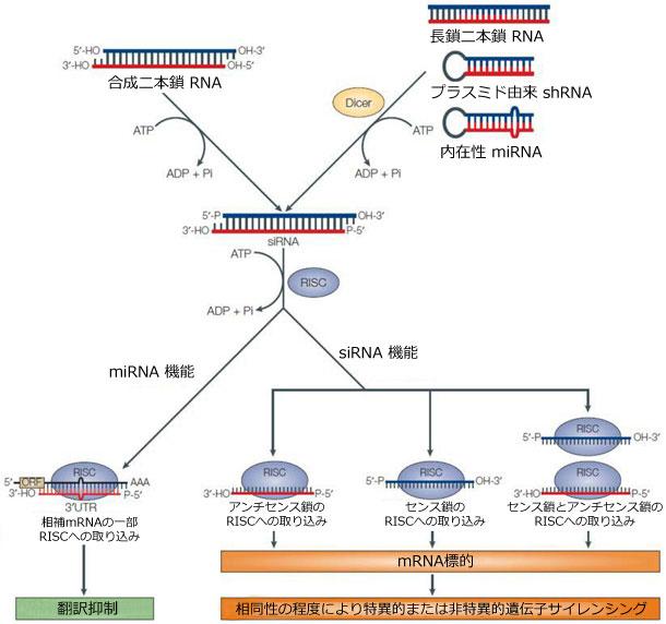 RNAi経路の一般的模式。