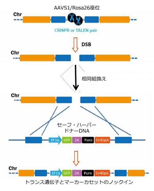 相同組換えによるセーフ・ハーバーノックイン手法の一般的概要図