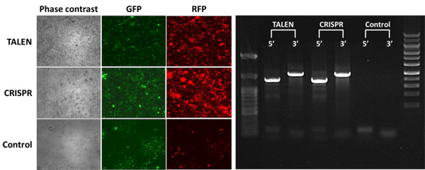 Rosa26部位におけるTALENおよびCRISPR-Cas9介在型トランス遺伝子組込み
