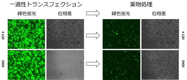 ヒトAAVS1セーフ・ハーバー用GeneCopoeia 社TALENにより2種類の導入遺伝子に対する部位特異的組込みが促進した