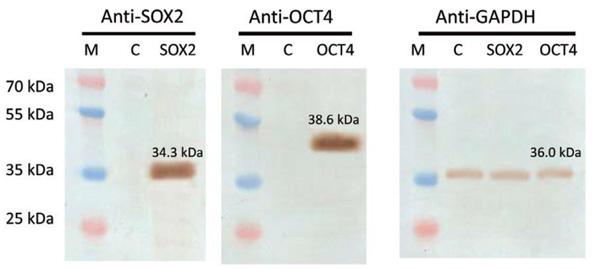 SOX2とOCT4 ORF導入遺伝子がヒトAAVS1セーフ・ハーバー部位に組込まれた細胞を用いたウェスタンブロット解析結果