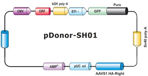 ヒトAAVS1セーフ・ハーバーノックインORFクローン用GeneCopoeia社ドナーベクター