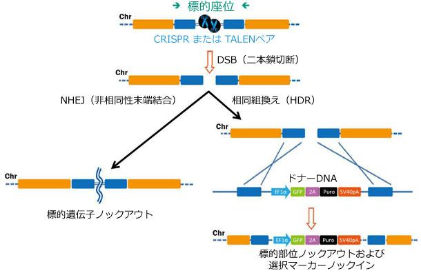 ゲノム編集ツールにより誘導されたDSB(DNA二本鎖切断)の修復経路