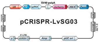 GeneCopoeia Genome-CRISPTM CRISPR sgRNAライブラリーに使用している個々のsgRNAをコードするプラスミド骨格