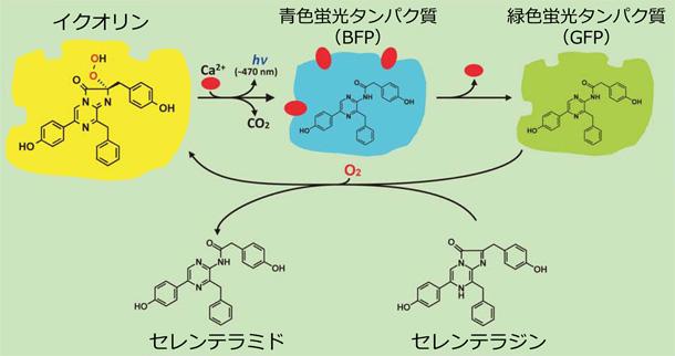 イクオリンの発光反応とイクオリンの再生