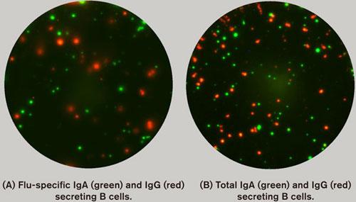 IgA及びIgG分泌細胞のFluoroSpot分析
