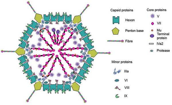 アデノウイルスの形態