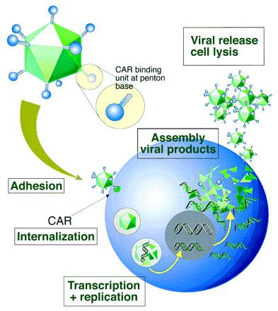 アデノウイルスのインフェクションプロセス