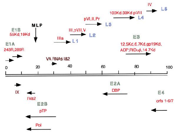 アデノウイルスゲノムの転写