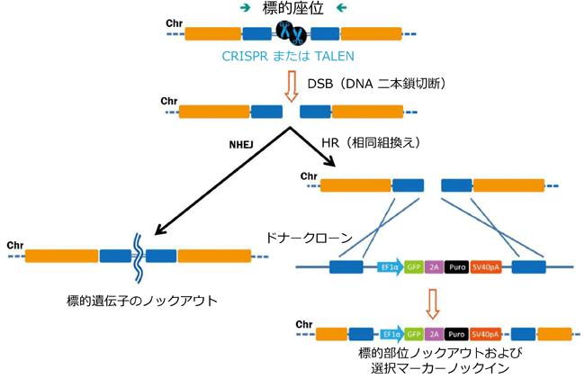 ゲノム編集ツールにより誘発された二本鎖切断(DSBs)の修復経路