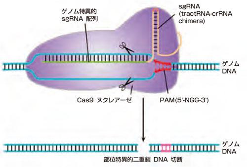CRISPR-Cas9標的認識